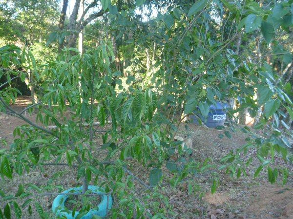 A amoreira plantada pela Dna. Ilka Sanada já está dando frutos.