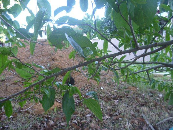 Quando completamos 20 anos de casados, plantamos uma muda de Fruta do Conde. Este ano, ela deu um fruto, só que com problemas. O que não acontece com o nosso casamento, que continua saudável!